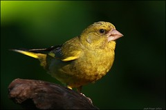 Verdilho,European Greenfinch   (Carduelis chloris (Jos Diogo 58) Tags: