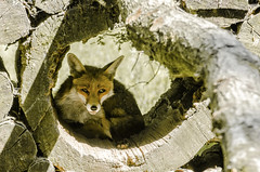 Who's watching who (Gies!) Tags: animal wildlife fox vos