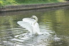 Wingspan (pongyc) Tags: bird water swan wings beak botanicalgardens