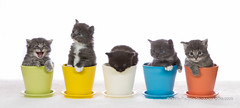 Kitten in pots (Dany Paquin) Tags: blue orange cats white black green yellow grey kitten pots