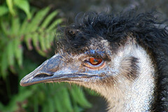 emu 1 (jrivard07) Tags: bird eye nature animal fauna beak feathers emu flightless