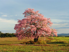 In All Its Glory (osvaldoeaf) Tags: road pink flowers trees brazil sky mountains nature beauty grass brasil clouds fence landscape petals cerrado blooms gois digitalcameraclub wonderfulworldofflowers blinkagain