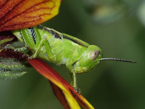 Photo - A small green grasshopper nymph hiding among the petals of a Gaillardia (Indian Blanket) Flower.
