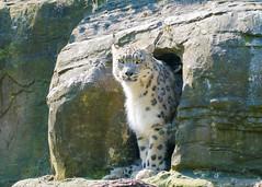 Irina Checks the visitors (Stavros043) Tags: england cats unitedkingdom wildlife bigcat marwell snowleopard wildlifepark owslebury flickrbigcats