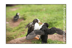 Fight (Winterspeak) Tags: park uk red sea summer white black cute bird nature birds yellow horizontal wales fauna de landscape island coast bill wings focus marine europe soft adult natural britain background south united great cymru wing large july reserve kingdom nobody atlantic coastal national gb puffin summertime fighting flapping sir puffins adults scrapping parc pembrokeshire flap stretching striped seabird seabirds 2012 selective plumage arctica fratercula ynys arfordir auk benfro penfro skokholm cenedlaethol stocky annegilbert sgogwm sgocholm