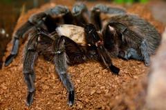 Texas Brown Tarantula (Kevin Borland) Tags: usa animal newjersey arachnid oceancounty animalia arthropoda arachnida arthropod theraphosidae araneae tomsriver aphonopelmahentzi insectropolis