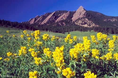 Photo - Golden Banner blooms in Chautauqua Meadow below the Flatirons.