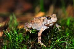 small American Toad (nikomelos) Tags: amphibian toad americantoad