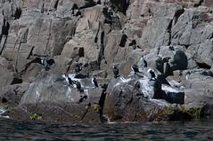 Black-Faced Cormorant (MrBlackSun) Tags: island oz australia tasmania cormorant aussie tas tassie shag brunyisland bruny blackfaced blackfacedcormorant blackfacedshag