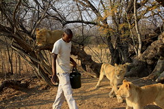 Walking with Lions. Ukutula Lodge and Lion Centre. Brits, South Africa. Sep/2013 (EBoechat) Tags: africa cat south centre lion lodge felino lioness leo brits leoa walkingwithlions ukutula sep2013