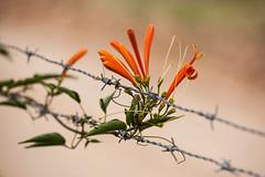 Adaptation (Bruno Leonardelli) Tags: flower folhas leaf flora flor cerca adaptation survivor arame farpado sobrevivencia adaptao