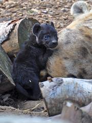 Hyena cub (Wildlife Online) Tags: mammal hyena carnivore colchesterzoo hyaena crocutacrocuta spottedhyena hyenacub marcbaldwin wildlifeonline