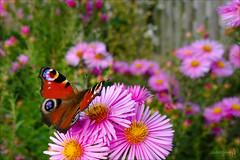 Garden Scene (der LichtKlicker) Tags: flowers plants fence butterfly garden insect nokia blumen peacock crop bloom gras zaun 1020 insekt garten schmetterling blten lumia tagpfauenauge 41mpx 10mpx pureview lumia1020