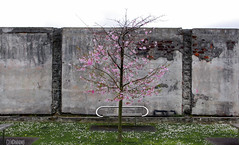 Tree on a Wall (smellerbee) Tags: tree wall contrast urbannature parallel