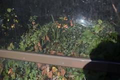 (ziemowit.maj) Tags: shadow reflection nature glass grass angle leafs bushes southlondon straightphotography greenleafs ef35mmf14l canon5dmkiii browndeadleafs bushesbehindadirtybusstopglass scratcheddirtyglass