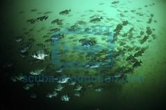 2011 ISNARD BAT ISLANDS RAIE AIGLE