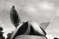 Annoying Flies (MigKenzie Photos) Tags: horse animal james photos ears mackenzie f flies jamesfmackenzie migkenzie migkenziephotos