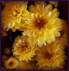 October Mums (MissyPenny) Tags: flowers autumn yellow october pennsylvania mums buckscounty chrysanthemums bristolpennsylvania pdlaich missypenny