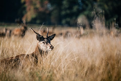 Rest. (Crusade.) Tags: park uk england mist london sunrise canon bokeh richmond deer 70200f28 5d2