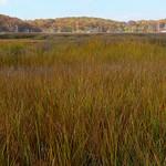 Fall color in a salt marsh thumbnail