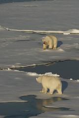 Polar bear face off (David Nunn) Tags: ocean bear sea male ice face norway female kill with off svalbard arctic polarbear pack seal polar bearded spitsbergen ursus spitzbergen ursusmaritimus maritimus