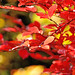 Autumnal leaves of Japanese Zelkova / ケヤキの紅葉