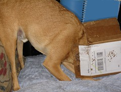 Ever Hopeful (M.P.N.texan) Tags: dog playing chuck minpin toydog minaturepinscher