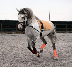 Casanova (Jadey Davison) Tags: horse orange grey stallion canter lusitano horsephotography