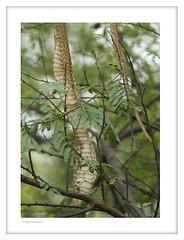 "Snake skin on a tree (Joybroto Dass) Tags: forest woods fauna nature wild canon wildlife photography animal bird beautiful amazing india raw beauty avian camera click rawnature""""wildphotography natureatitsbest"
