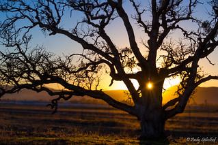 The Oak in January