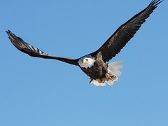 IMG_5690 (sjj62) Tags: birds wildlife baldeagle mississippiriver eagles 70200mmf40 40d lockanddam14 leclaireia