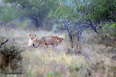 DSC_2244 (Arno Meintjes Wildlife) Tags: africa wallpaper nature southafrica wildlife lion safari bigcat predator krugerpark big5 pantheraleo arnomeintjes