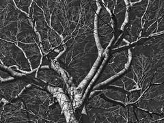 beech (rcornelius2012) Tags: tree tennessee beech scottcounty