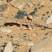 Red-spotted Desert Racer