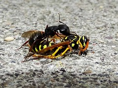 Apr6,2014 DSC09057 Ant with Paper Wasp