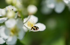 Bain de soleil [Explored] (Pics_Fab) Tags: flower nature fleur spring ladybird printemps coccinelle picsfab