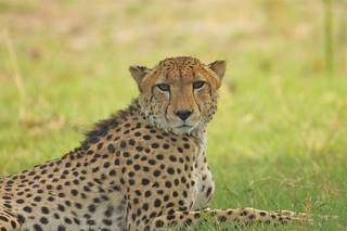 amber color Cheetah eyes, Okavango Delta, Botswana