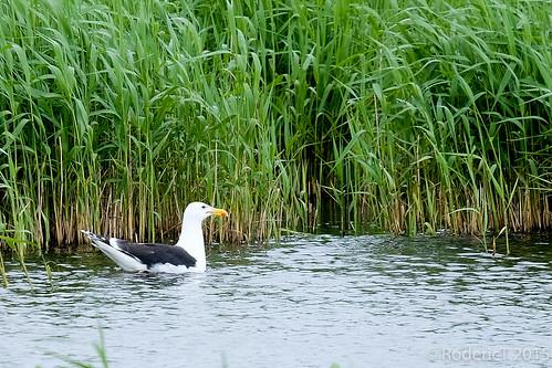 20150628-DSCF7040 Great Black Backed Gull Orkney.jpg