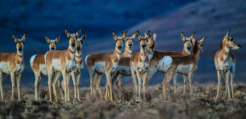 Pronghorn Antelope seem to have an uncanny ability to find roadways th