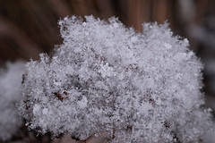 Snow Covered Sedum
