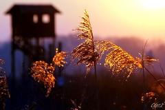 ___ un attimo!.....un'emozione! ___ (erman_53fotoclik) Tags: attimo emozione particolari caldi riflessi dorati pennacchi tramonto controluce capanno canne canon eos 500d erman53fotoclik ripresa