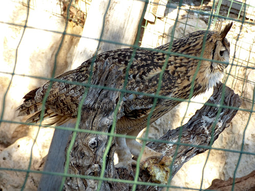 Paphos Zoo - Bengalese eagle owl