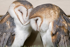 Barn Owls (Chancy Rendezvous) Tags: zoo owls barn animals birds providence rhodeisland rogerwilliams nikon nikkor chancyrendezvous davelawler blurgasm lawler