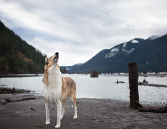 Jonah 10/52/2017 I wonder what his nose sees. (nonbooty) Tags: 52weeksfordogs collie smoothcollie lakecushman scent