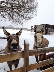 snow donkeys 3 (vastateparksstaff) Tags: gabby chip chippokesplantation chippokesplantationstatepark donkeys animals snow