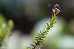 Bombini (Fredy Gómez Suescún) Tags: apidae artropoda bombus boyacá colombia drmi tásvita u01 insecto úmbita fernweh