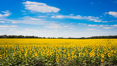 IMG_7987 (Patrick.Burns) Tags: blue yellow green sunflower sky field nature farm
