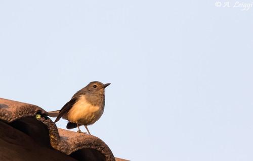 Oriental magpie-robin, female (Copsychus saularis)