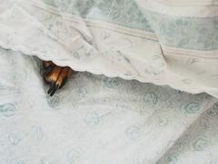 Urlaub (Paul mit dem Pinscher) Tags: dog deutscherpincher pinscher minipin miniatruepinscher hund paw fus bed bett bettdecke urlaub holiday zwergpinscher