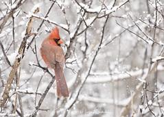 Riverside Park 27 (martinaschneider) Tags: riversidepark cambridge bird winter snow tree trees snowing cardinal